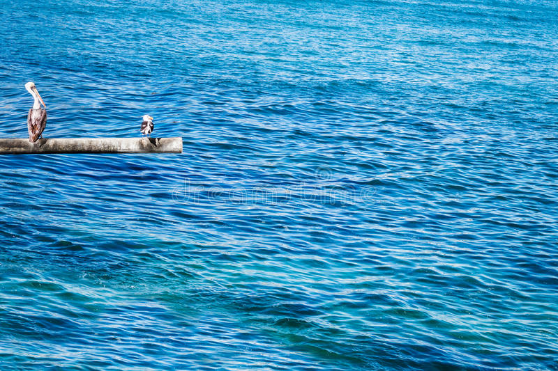 Pelícano y gaviota de Brown en el polo foto de archivo libre de regalías