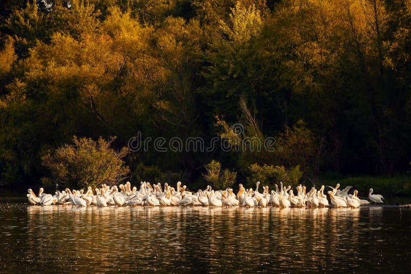 Pelícanos blancos en la puesta del sol en Missouri foto de archivo