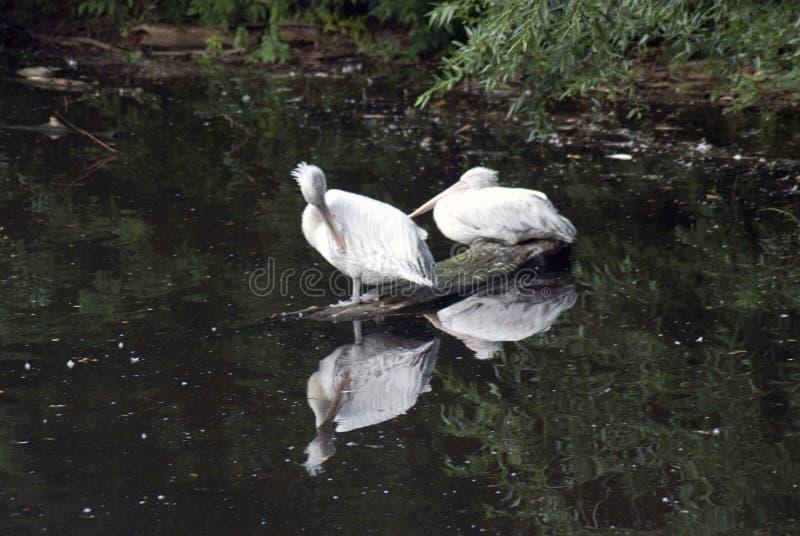 Pelícanos blancos por el agua fotos de archivo