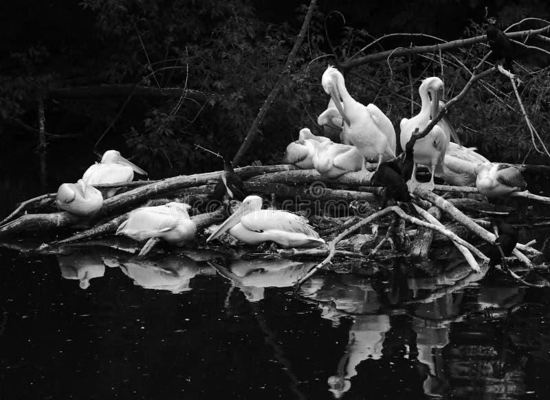 Pelícanos blancos por el agua Foto blanco y negro de Pekín, China foto de archivo