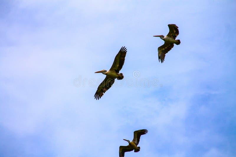 Pelícanos de deslizamiento fotos de archivo