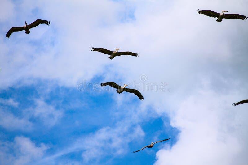 Pelícanos de deslizamiento fotografía de archivo