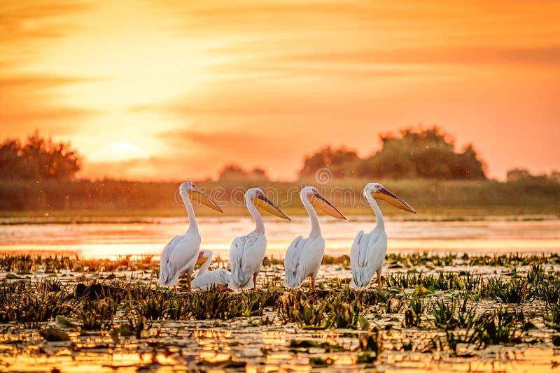 Pelícanos de Rumania del delta de Danubio en la puesta del sol en el lago Fortuna fotos de archivo libres de regalías