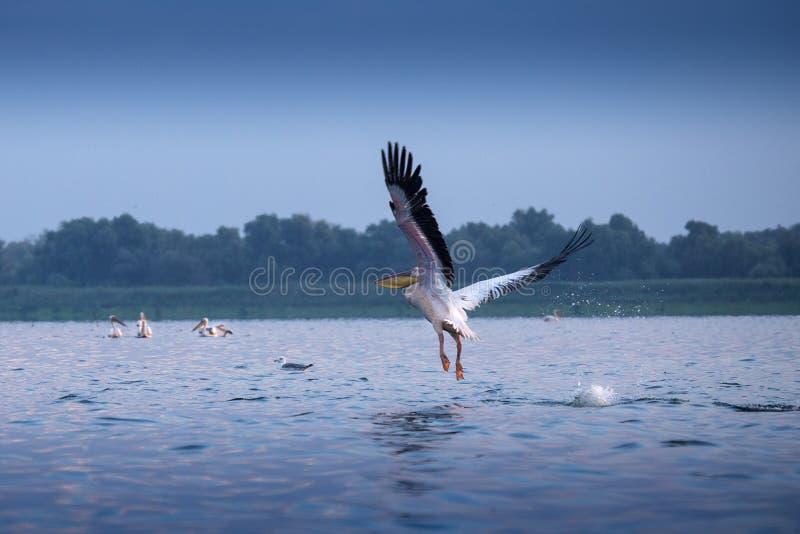 Pelícanos del delta de Danubio foto de archivo libre de regalías