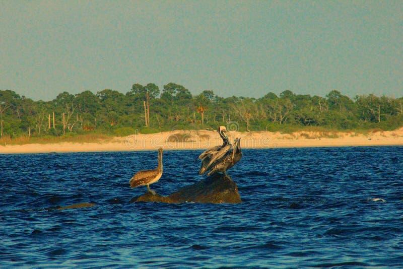 Pelícanos del Golfo de México que se sientan en las rocas pintorescas imagen de archivo