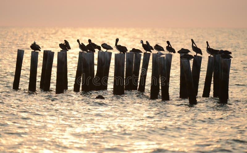 Pelícanos En El Océano En La Salida Del Sol Foto de archivo