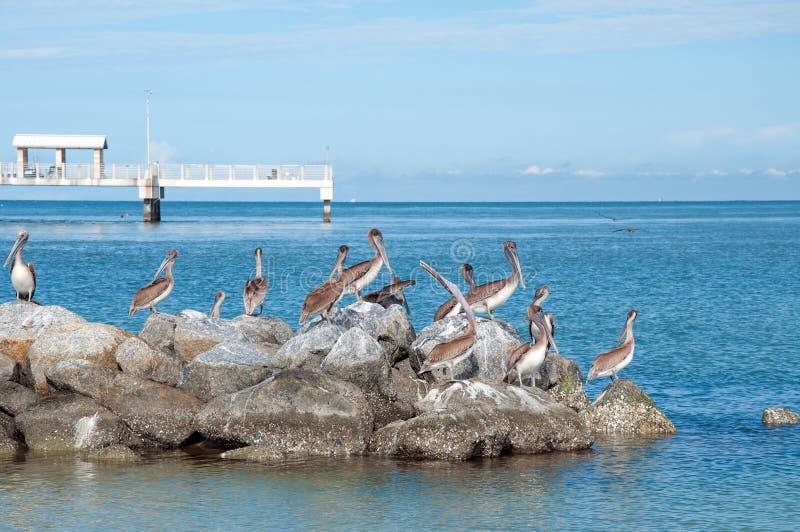 Pelícanos En El Parque De DeSoto De La Fortaleza Imágenes de archivo libres de regalías