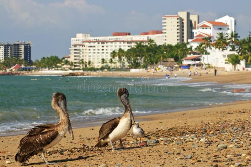 Pelícanos en la playa en México foto de archivo