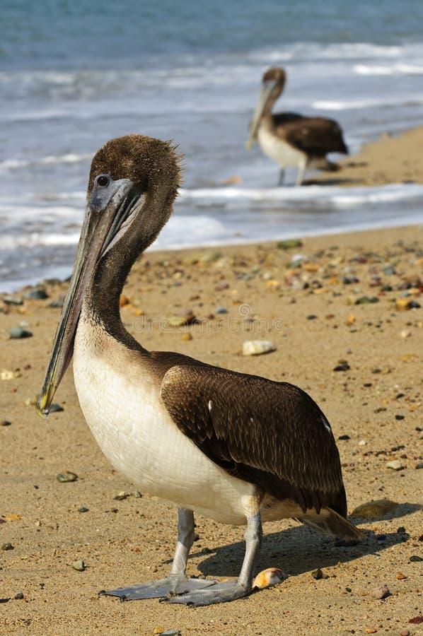 Pelícanos en la playa en México imagen de archivo libre de regalías