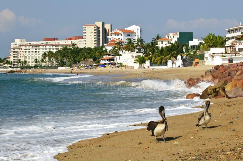 Pelícanos en la playa en México imagenes de archivo