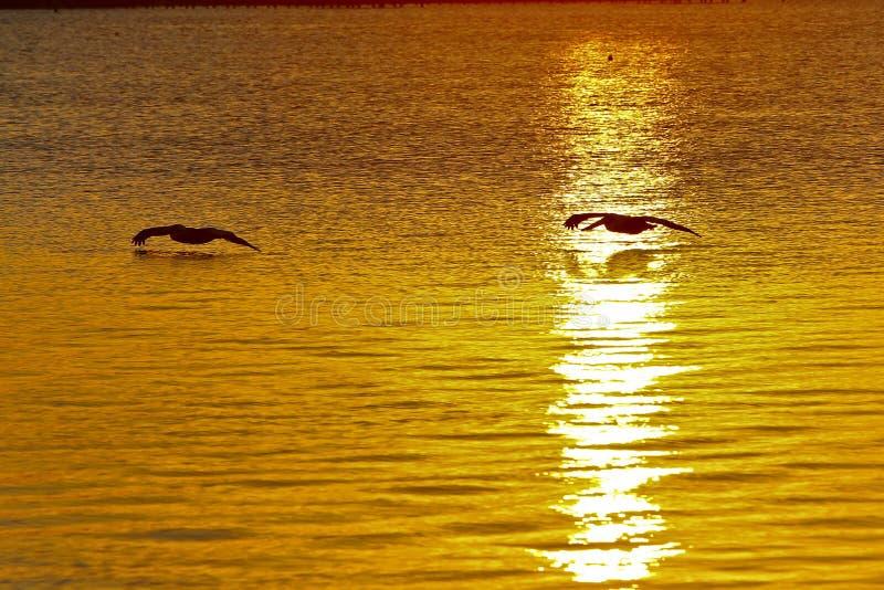 Pelícanos en la salida del sol imagen de archivo libre de regalías