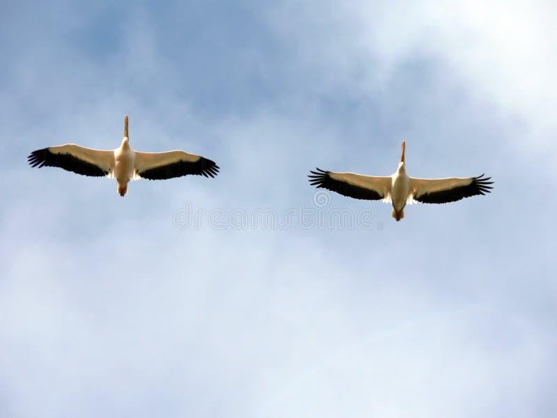 Pelícanos en vuelo foto de archivo