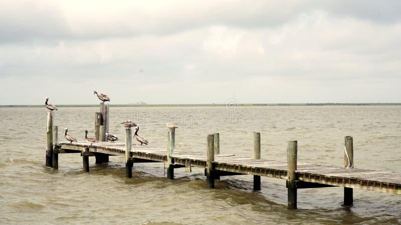 Pelícanos que descansan sobre un embarcadero pesquero imágenes de archivo libres de regalías