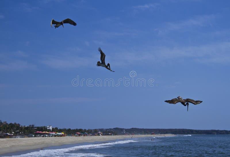 Pelícanos que pescan en la playa de Puerto Escondido fotos de archivo