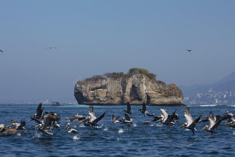 Pelícanos que pescan en los arcos de Mismaloya en Puerto Vallarta México fotos de archivo