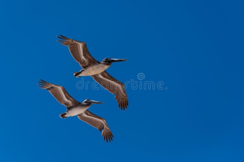 Pelícanos que vuelan en la formación fotografía de archivo