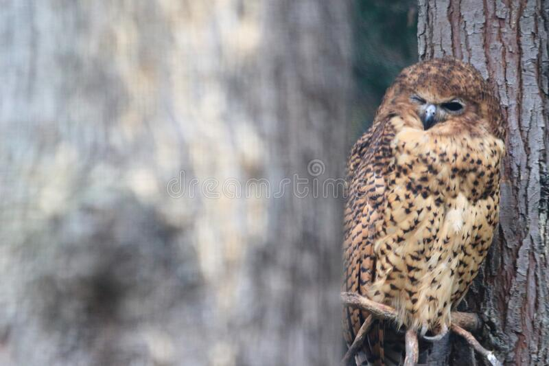 Pel fishing owl stock image