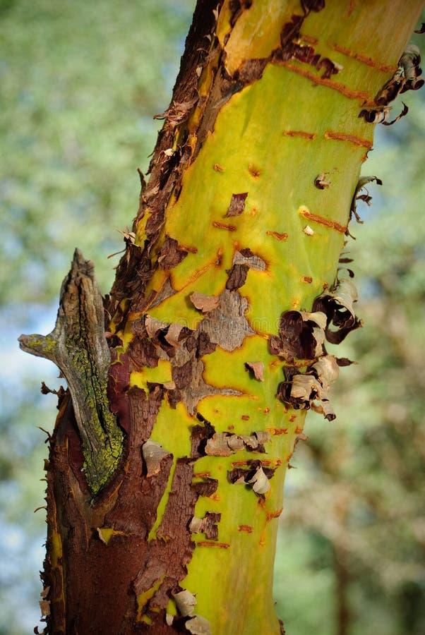 Peladura del árbol de eucalipto de la corteza. foto de archivo libre de regalías