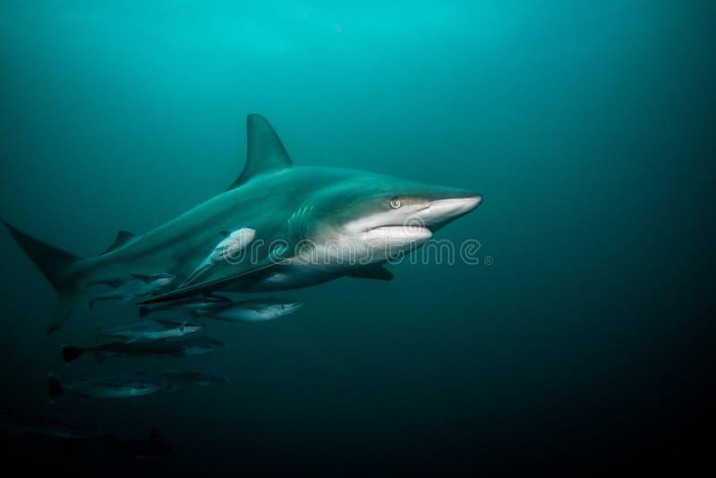 Pelagic Czarny porada rekin pływa podwodnego, pełnego długość strzał, zdjęcie stock