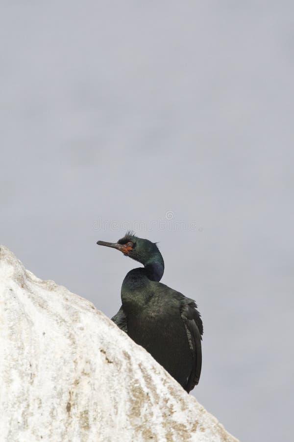 Pelagische Aalscholver, pelagischer Kormoran, Phalacrocorax pelagisch lizenzfreie stockfotografie