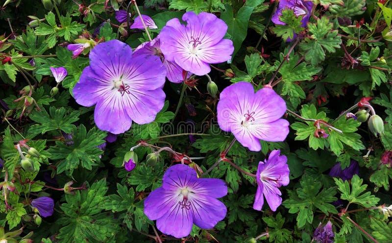 Pelargon Rozanne, lila blommar i en parkera arkivbilder