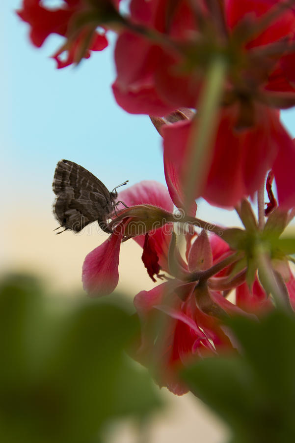 Pelargonbrons Butterly på röd pelargon royaltyfria foton