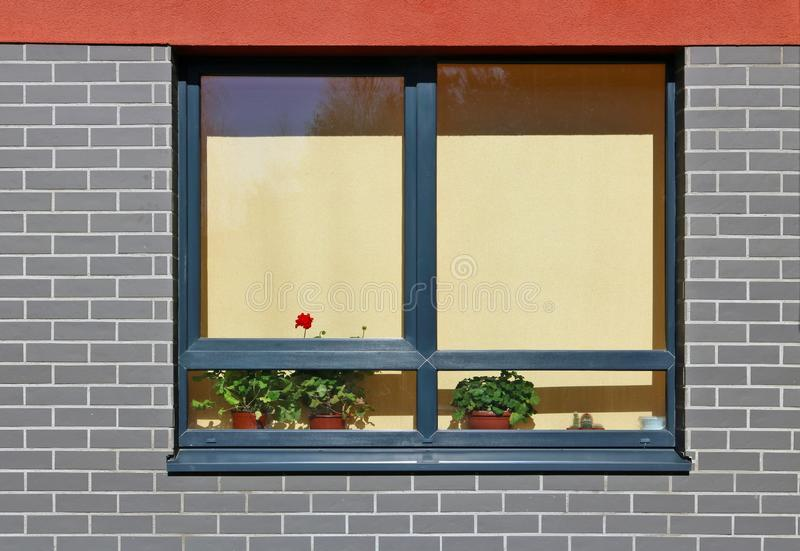Pelargonbuskar kommer till liv på fönstret av en bostads- byggnad under vårsolen arkivfoto