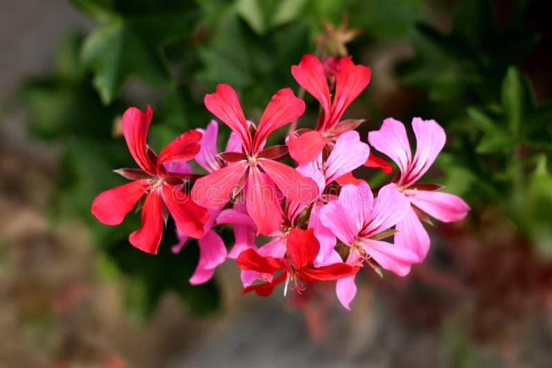 Pelargoniablommor blandade i enkel grupp med rosa färger till mörkt - röda kronblad på grön sidabakgrund royaltyfri foto