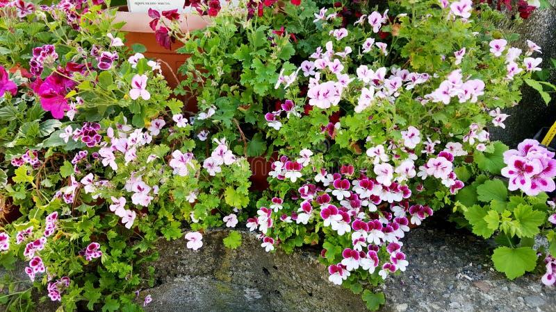 Pelargonian (pelargon) blommar i Sofia Botanical Garden arkivbilder