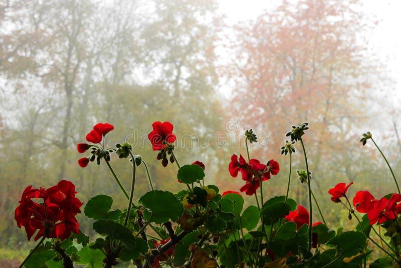 Pelargoniani rossi all'interno con alberi all'aperto sullo sfondo fotografia stock libera da diritti