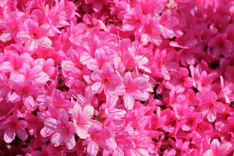 Pelargoniapeltatumgrupp av den rosa pelargon royaltyfri fotografi