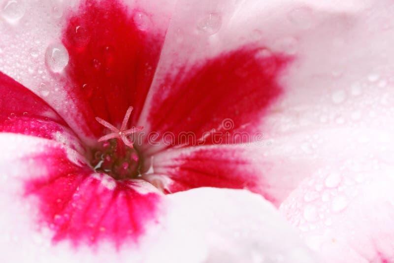 Pelargonie abgedeckt in den Dewdrops lizenzfreie stockbilder