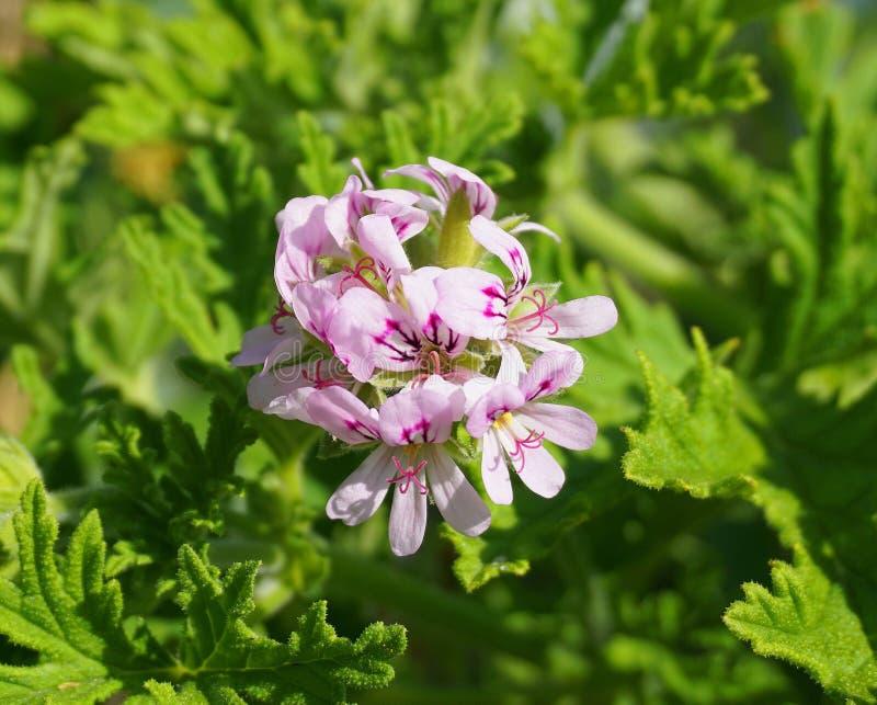 Pelargonie Attar von Rosen roch schöne Blumen der Pelargonie und grüne flache drei-lappige Blätter schließen oben Alias Rosen-GE lizenzfreies stockbild