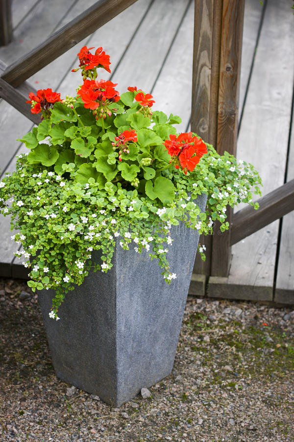 Pelargonie im konkreten Blumentopf stockbild