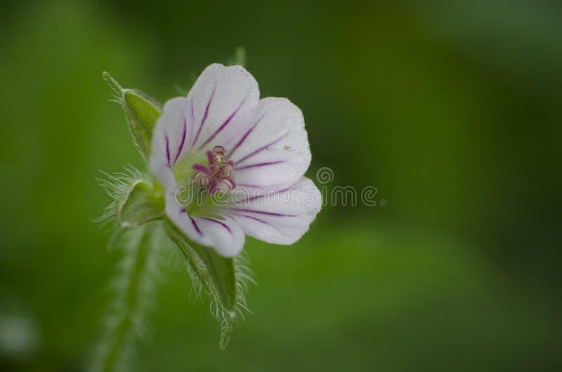 Pelargonie sibiricum, kleine weiße wilde Blume im Garten, Makro, Abschluss oben lizenzfreie stockfotografie