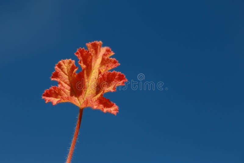 Pelargonien-Blatt stockbilder