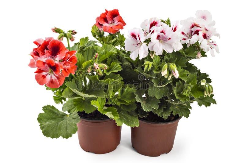 Pelargonien-Pelargonie stockfotos