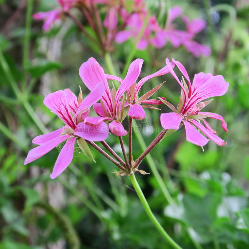 Download Pelargonien rosa immagine stock. Immagine di creeper - 56890615