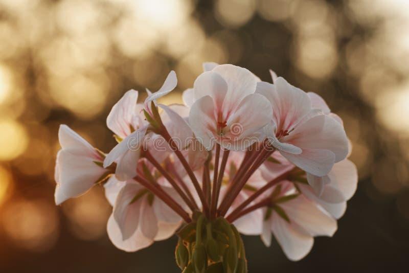 Pelargonienblume an der Dämmerung stockfoto