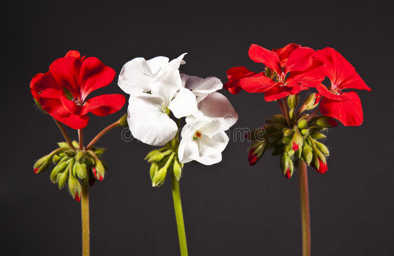 Pelargonienblumen stockbild