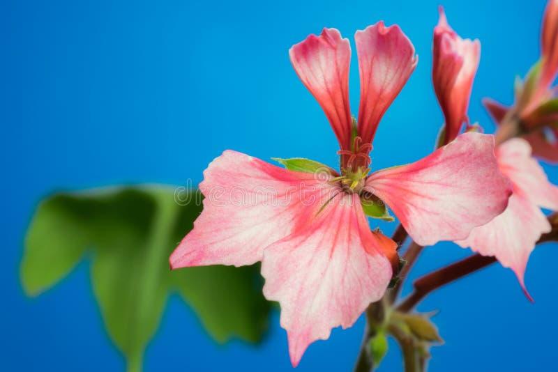 Pelargoniensternblume stockfoto