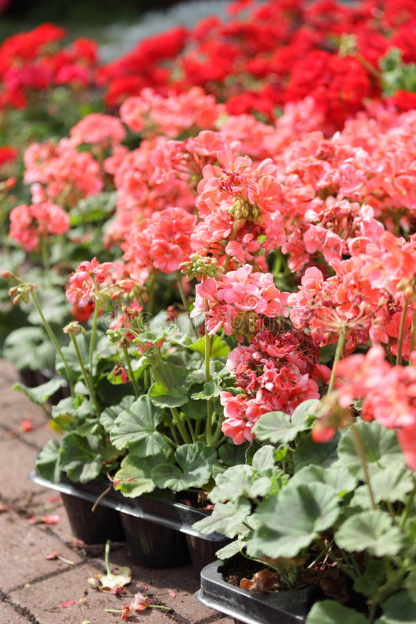 Download Pelargonium stock photo. Image of pelargonium, gardening - 27180542