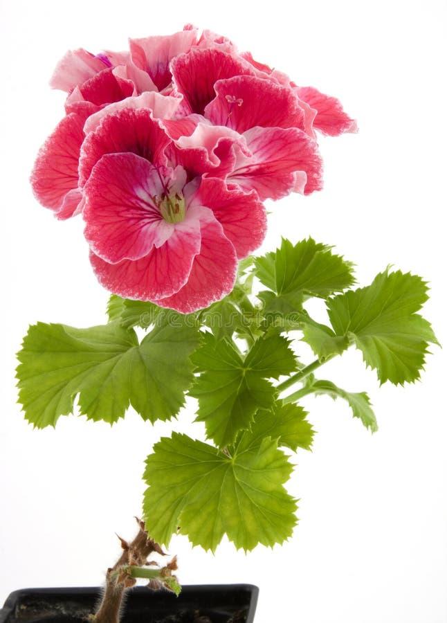 Pelargonium imagen de archivo