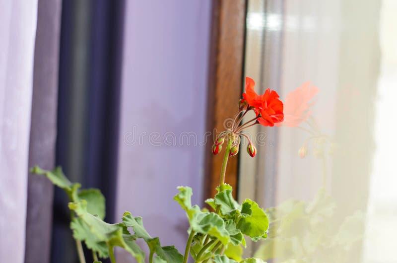 Pelargonium fotografía de archivo libre de regalías