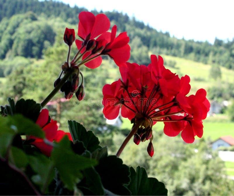 Pelargonium imagem de stock