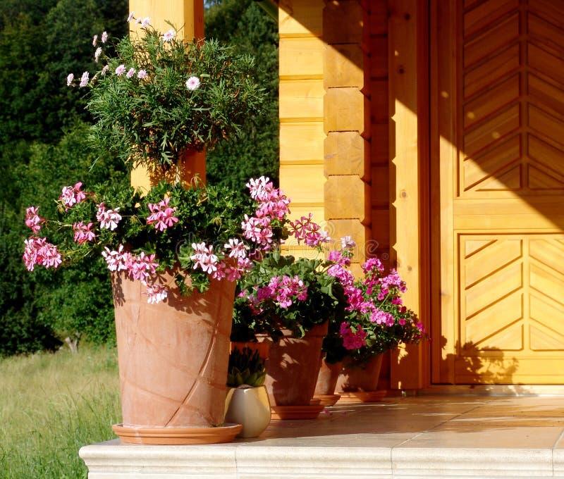 Pelargonium fotografia de stock royalty free