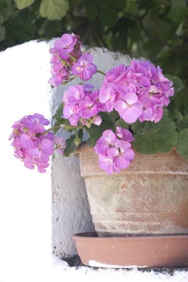 Pelargonium fotos de stock