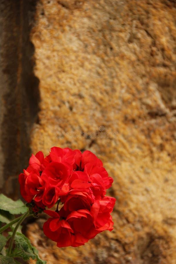 Pelargonium fotografia royalty free