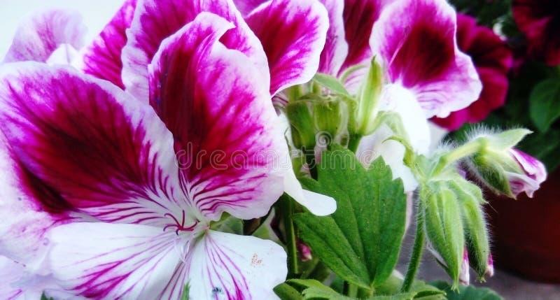 Pelargonium Angel eyes bicolour royalty free stock photo