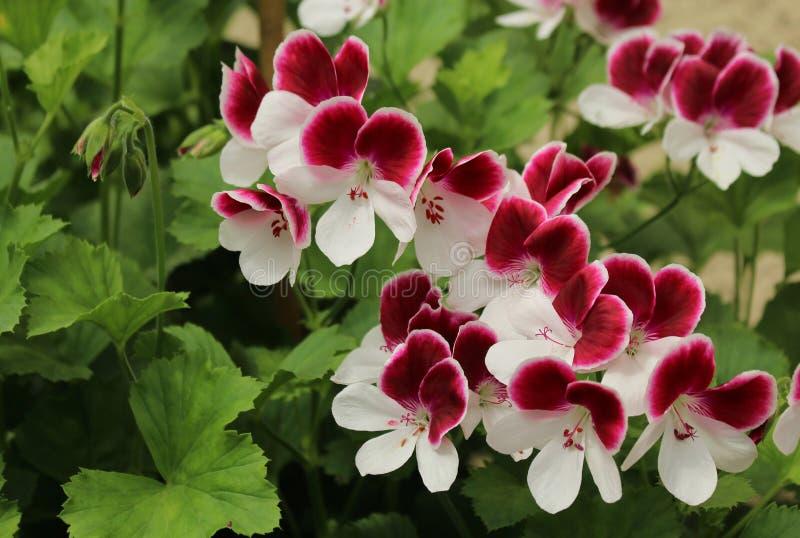 Pelargonium Angel Eyes Bicolour. Blooming  geranium royalty free stock photos